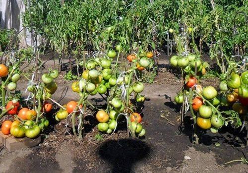 Календарь ухода за томатами по месяцам. фото — ботаничка.ru