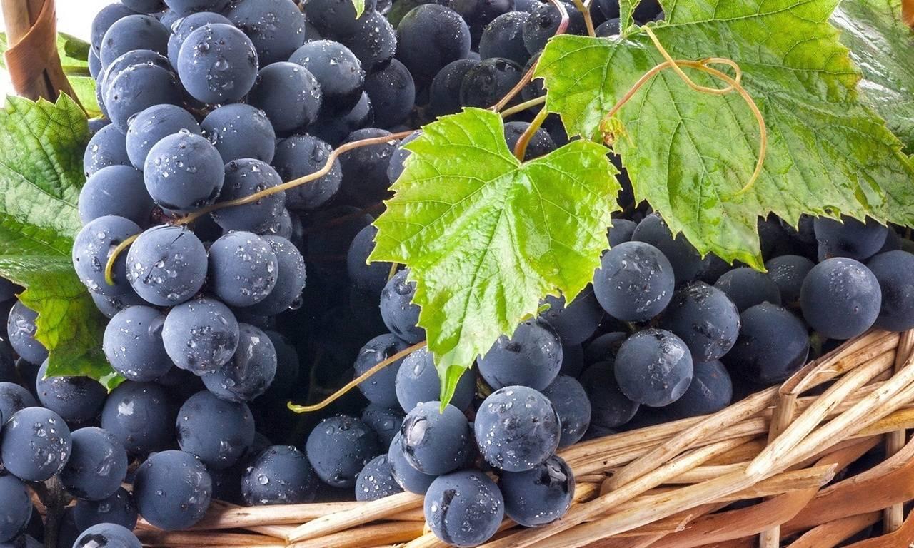 Выращивание винограда в подмосковье: инструкция для начинающих