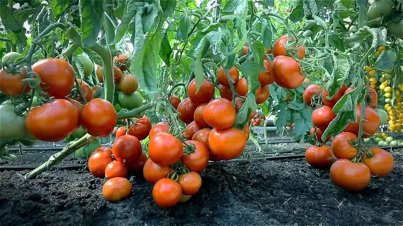 Как правильно поливать томаты в теплице и открытом грунте – дачные дела