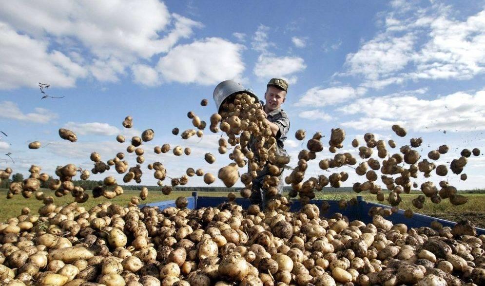 Определение нормы посадки картофеля на 1 га или на сотку — сколько нужно и от чего зависит расход?