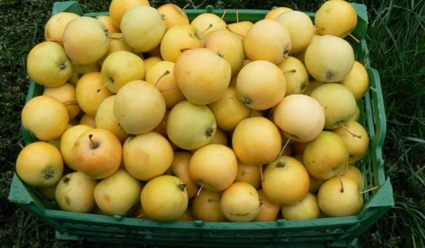 Сорт яблони уральское наливное: фото, описание сорта, отзывы