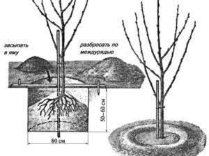 Черешня, посадка и уход: в подмосковье, средней полосе, формирование черешня, посадка и уход: в подмосковье, средней полосе, формирование