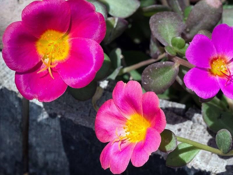 Портулак - выращивание из семян, особенности ухода
