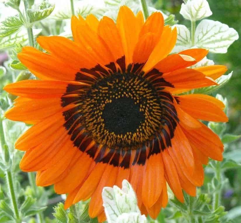Венидиум: особенности выращивания африканского цветка, виды растения