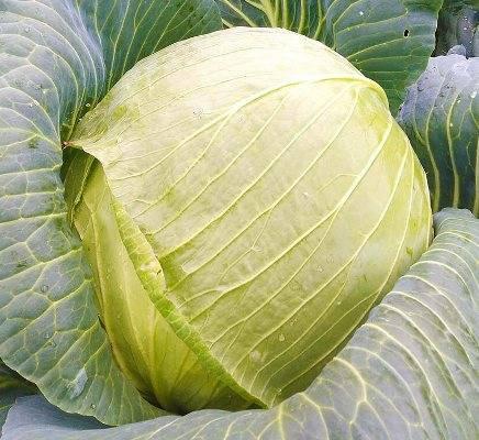 Капуста акира f1: отзывы и условия выращивания, описание раннего сорта, фото