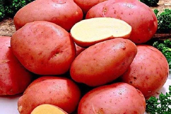 """Картофель """"романо"""" - описание и характеристики сорта"""