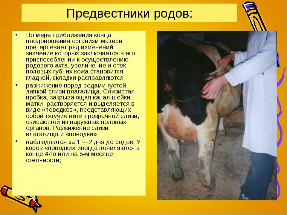 Отел коровы: основные признаки, подготовка, таблица отела