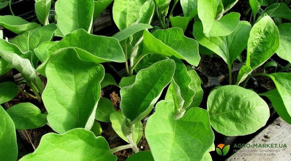Как и когда высаживать рассаду баклажанов в открытый грунт?