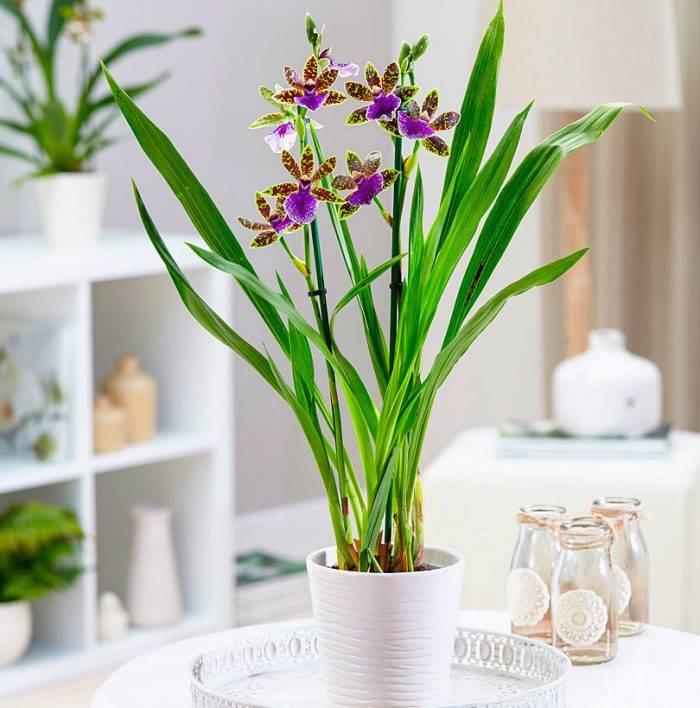 Орхидея фаленопсис: описание растения, уход и размножение в домашних условиях, фото видов с названиями