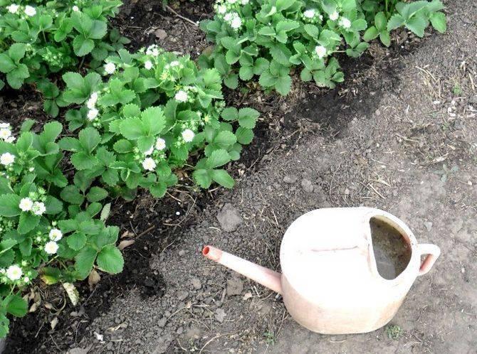Когда и как обрезать клубнику осенью, чтобы был хороший урожай