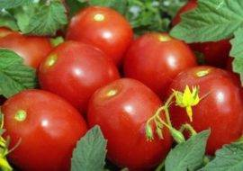 Томат анастасия: характеристика и описание сорта, урожайность с фото