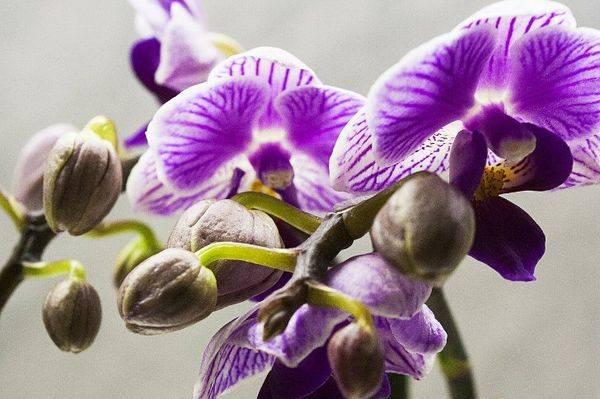 Почему у орхидеи вянут цветки и что делать, если быстро опадают бутоны?
