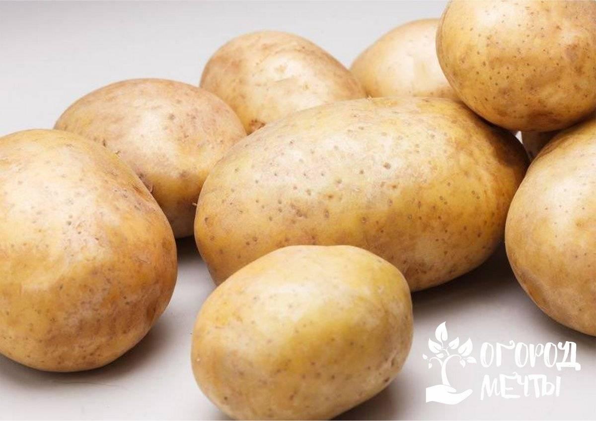 Через сколько дней всходит картофель после посадки – 4 главных момента и 5 советов по посадке