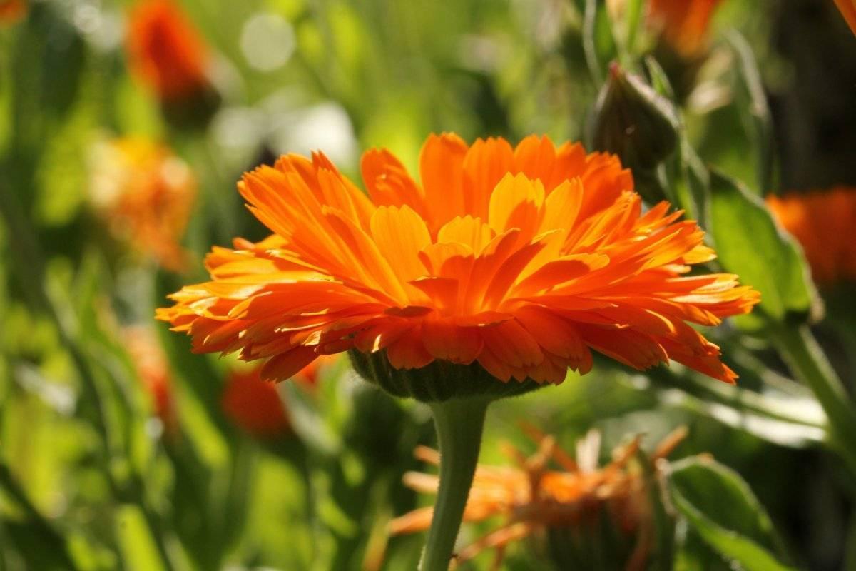 Календула: выращивание в саду, виды, свойства