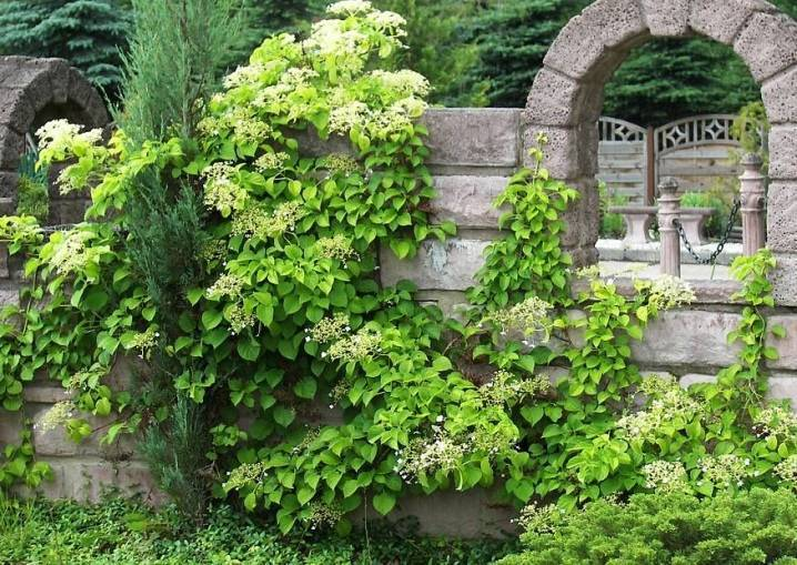 Гортензия вьющаяся (черешковая, hydrangea petiolaris): посадка и уход