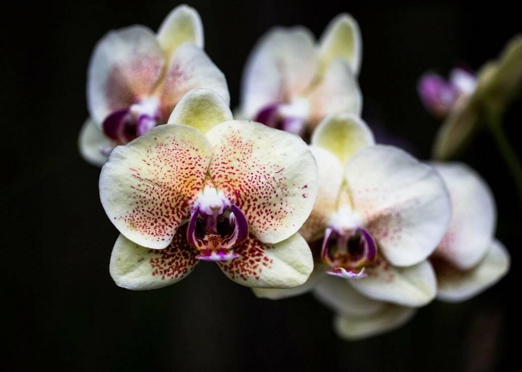 Необычная орхидея фаленопсис пелорик