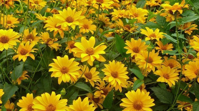 Цветок «гелиопсис»: описание, виды, фото, посадка и уход