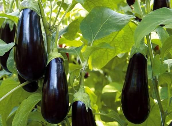 Можно ли садить огурцы и баклажаны в одной теплице: правила выращивания, посадка и уход