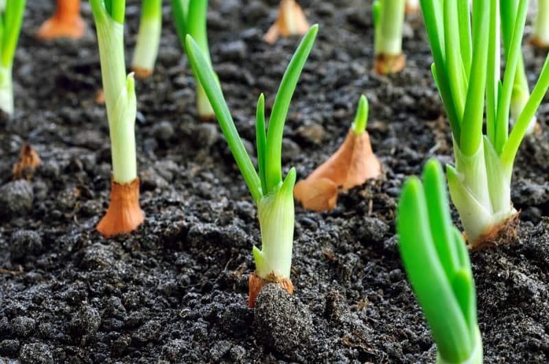 Подготовить к посадке весной лук-севок: как провести необходимые мероприятия и другие тонкости