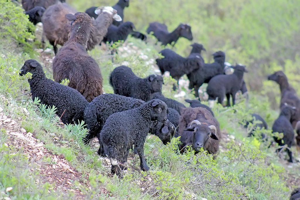 Карачаевская порода овец фото характеристика