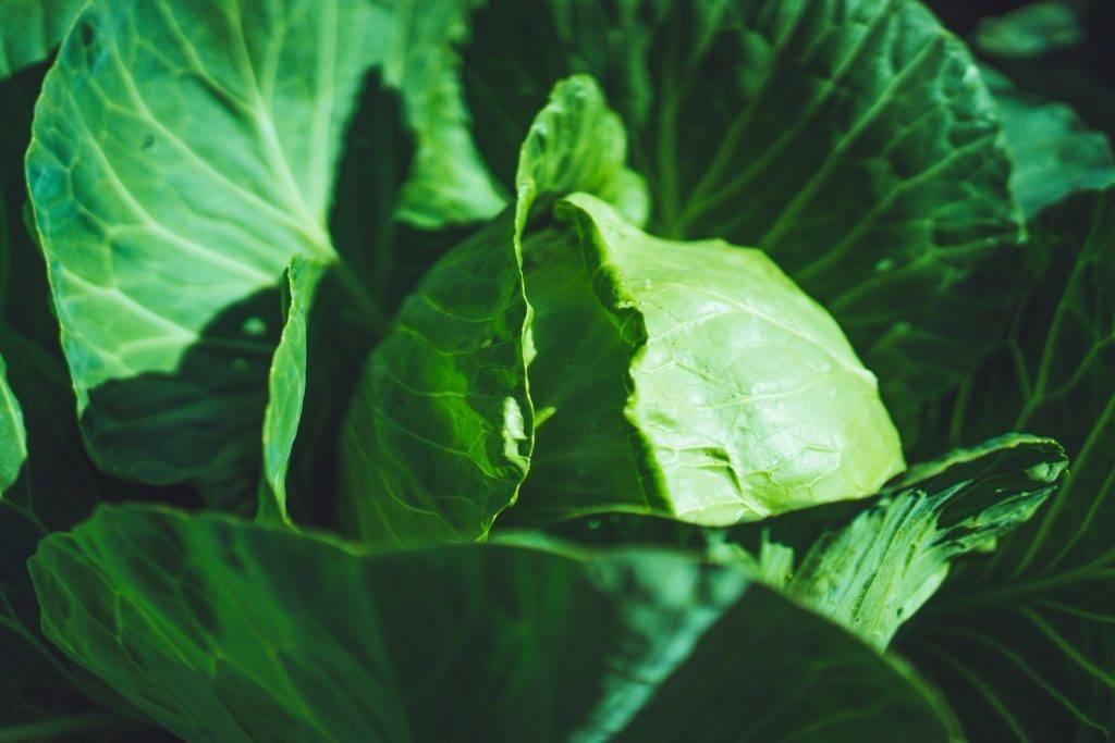 Капуста мензания – описание сорта, фото, отзывы