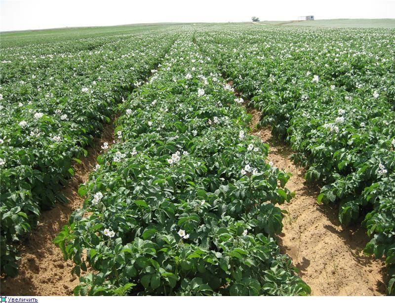 Выращивание картофеля по голландской технологии: описание, плюсы и минусы, схема и пошаговая инструкция
