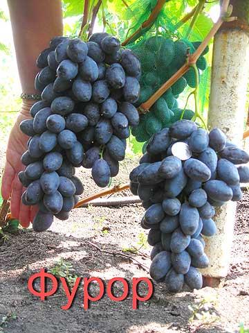 """Сорт винограда """"фурор"""""""