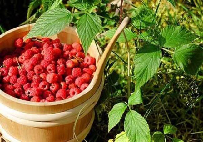 Посадка малины осенью: как сажать, уход, обрезка, пересадка на новое место, сроки, как лучше подкормить