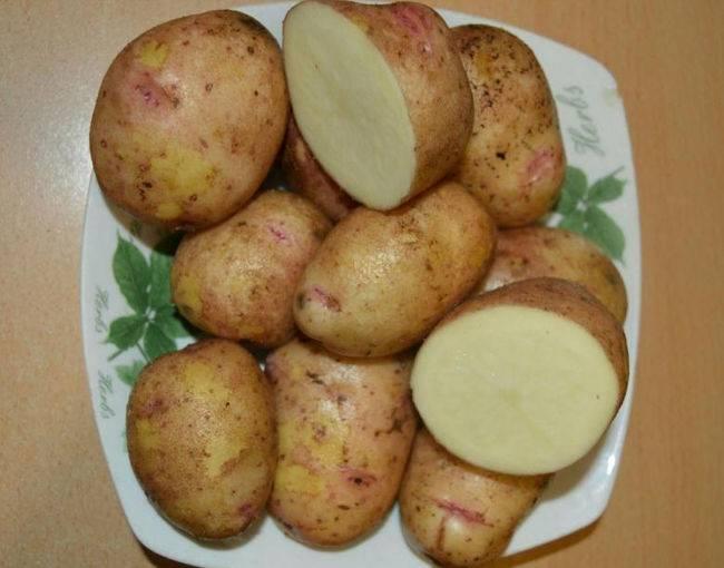 Картофель аврора — рассмотрим вместе