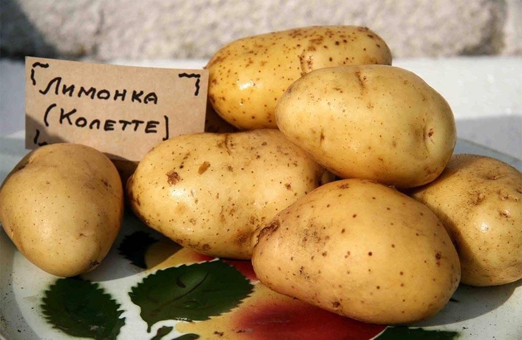 Сорт картофеля колетте: характеристика, описание с фото, отзывы