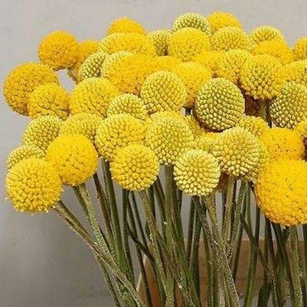 ✅ краспедия или барабанные палочки, выращивание из семян - сад62.рф