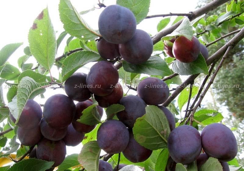 Скороплодная слива, описание сорта, посадка и уход за скороплодной сливой