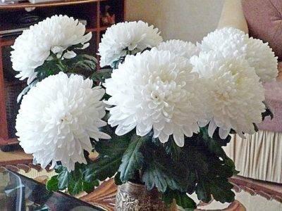 Этапы осеннего ухода за многолетними хризантемами и подготовка их к зиме