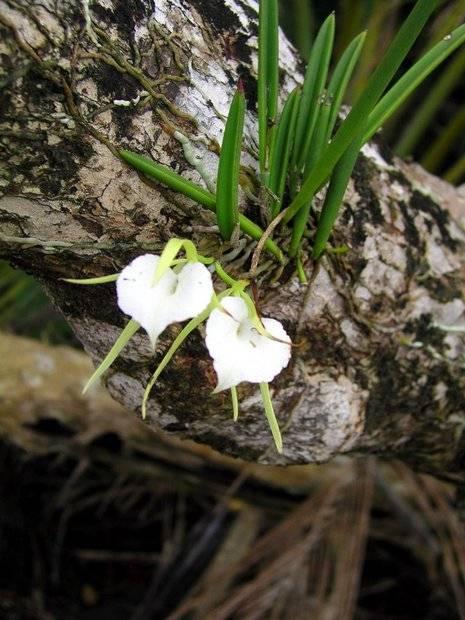 Орхидея брассавола (нодоза)   страна мастеров
