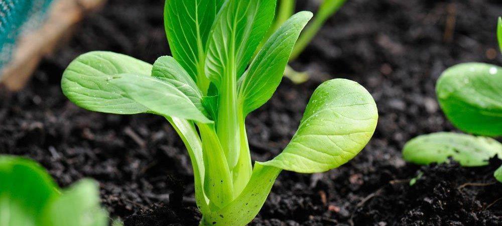 Выращивание китайской капусты пак чой