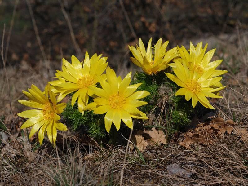 Цветок адонис (горицвет): разные виды с фото, посадка и уход