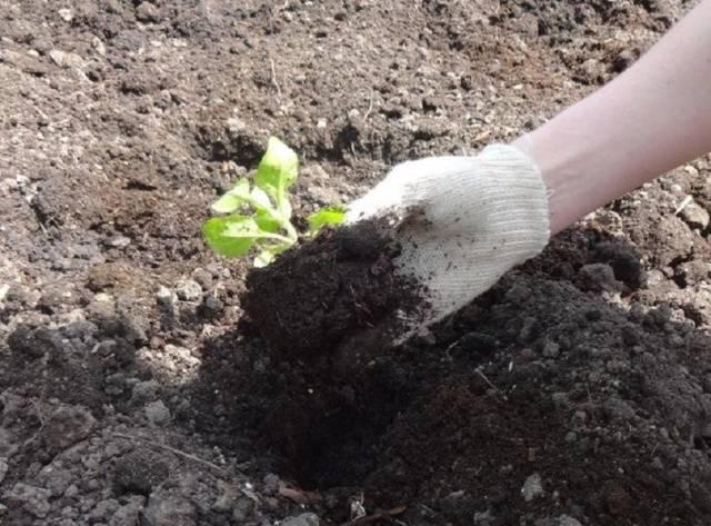 Цветок петуния – выращивание из семян, посадка и уход за петунией в открытом грунте, виды и сорта петунии