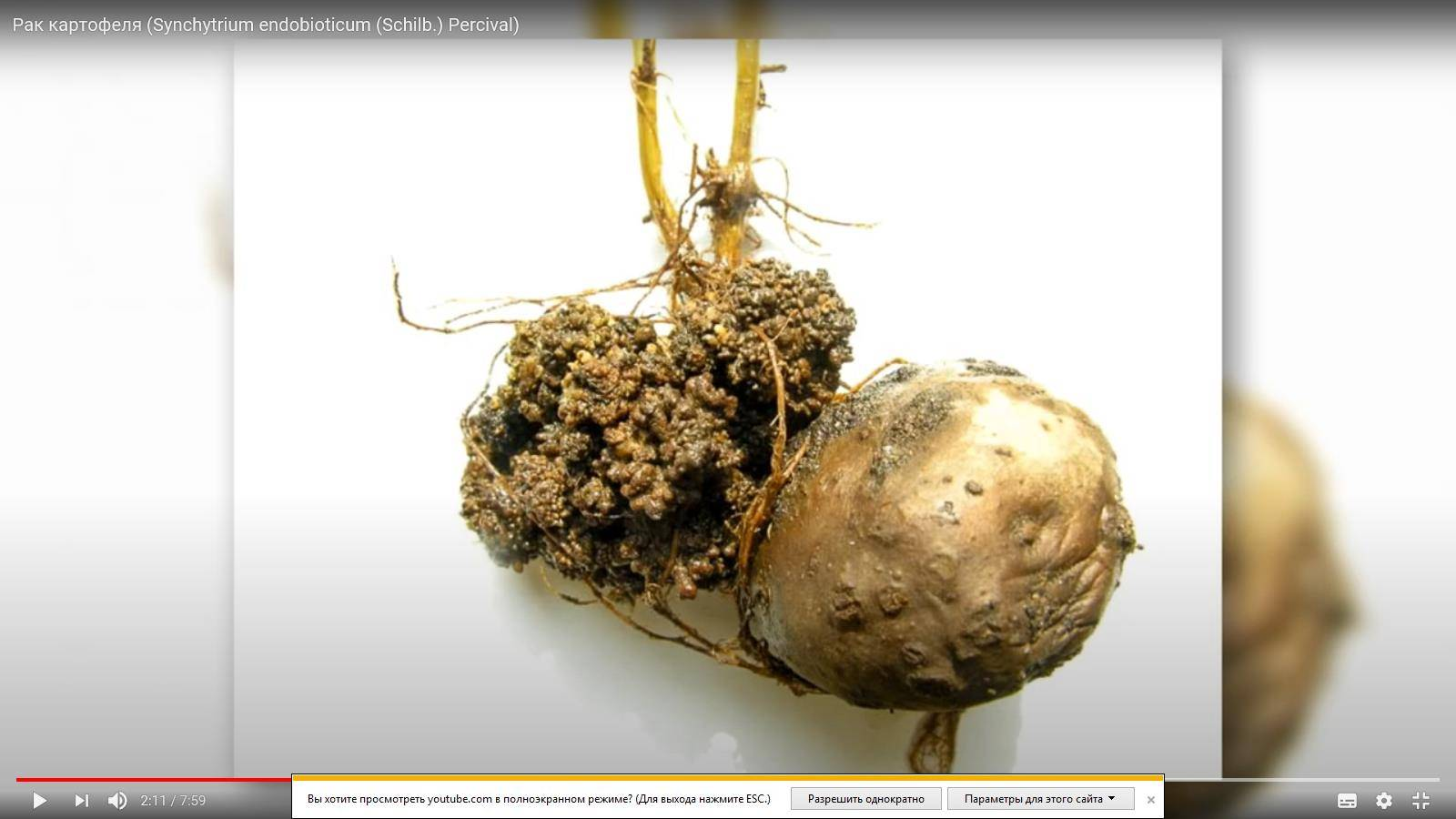 Чума на огороде! что такое рак картофеля и как вылечить растение?