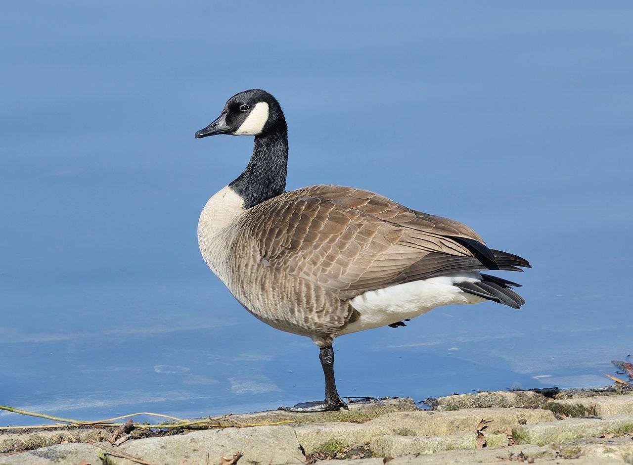 Дикие гуси и казарки: виды с фото и описанием пород, места обитания