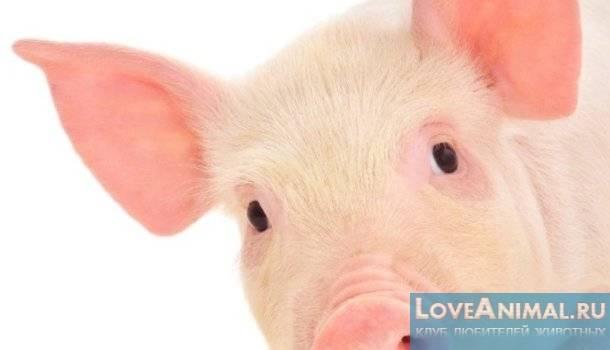 Сколько живет свинья: что влияет на продолжительно жизни животного, каким должен быть уход за животным
