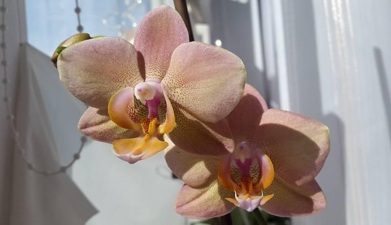 Фаленопсис мини: сорта микро орхидей, такие как сапфир, марк, мастерпис и другие, а также фото и уход в домашних условиях