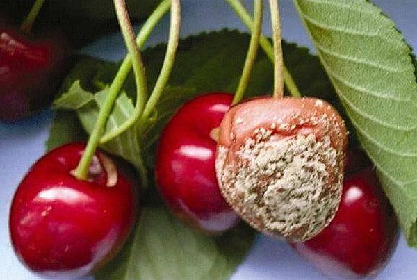 ✅ почему сохнут листья у вишни после цветения, желтеют и скручиваются - tehnomir32.ru