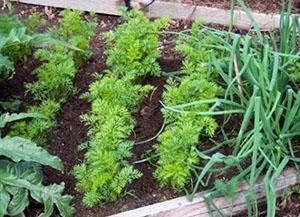 Морковь в гранулах: правильная посадка и уход в открытом грунте, через сколько дней всходят семена после посева, что делать, чтобы быстро взошли, почему не растут? русский фермер