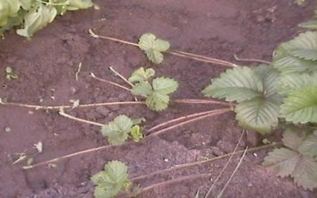 Размножение клубники делением куста