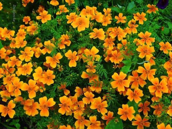 Одни из самых неприхотливых цветов – бархатцы. когда сажать и как это делать, а также правила ухода