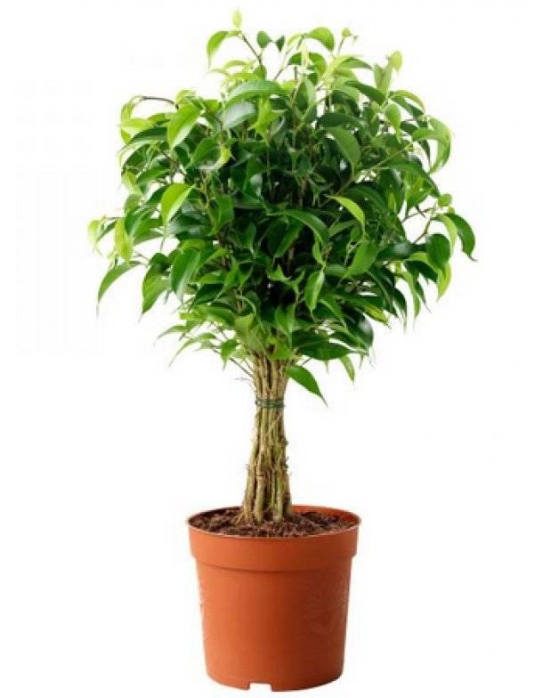 Как посадить фикус? как правильно сажать цветок без корней в горшок пошагово в домашних условиях? посадка ростка