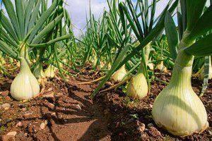 Когда и как сажать лук эксибишен в 2020 году