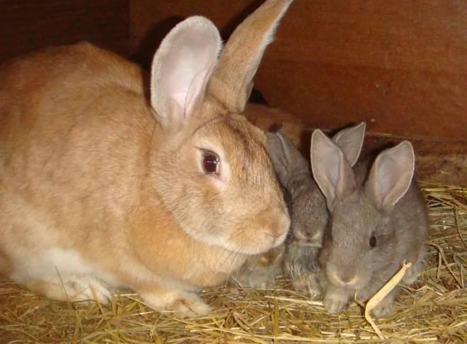 Окрол кроликов характерные особенности при родах