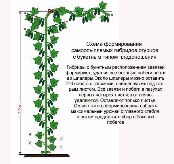Схема и инструкция по обрезке огурцов в теплице