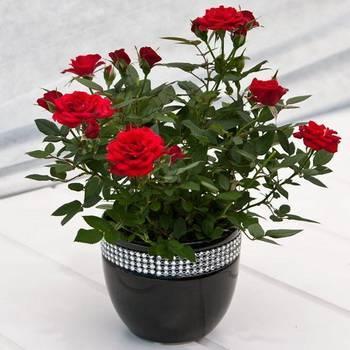 Выращивание розы в горшке — особенности ухода за цветком